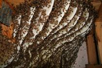 Ученые утверждают, что мобильники убивают пчел